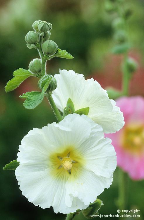Hollyhock<br /> Alcea ficifolia &lsquo;Happy Lights&rsquo;
