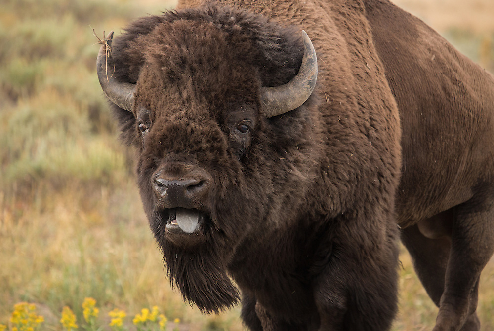 Bellowing and pawing the earth, this large bison bull prepares himself for battle during the summer rut.  During this time of year, the largest of the bulls go head to head to determine who will sire next year's calves.