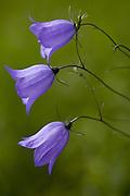 Blåklokker, bluebells, Campanula rotundifolia.