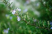 Rosemary - Rosmarinus officinalis in bloom