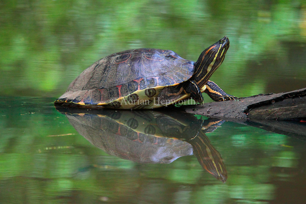 Orange-eared Slider Turtle (Chrysemys ornata) basking on natural rainforest canal.  Tortuguero National Park, Costa Rica. <br />