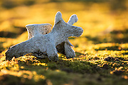 Moffen is a small, island north of Spitsbergen. Up to 1952 the Walrus was excessive hunted, and almost extinct. You can find a enormous amount of bones after the Walrus slaughter on this island, and this one looked like a dog. The Walrus is now protected, and the population is increasing with more than 2000 individs. It is not allowed to land at Moffen between 15th may - 15 sep. If you land outside this period, you should make sure to not affect the environment | Moffen er en øy nord for svalbard der det frem til 1952 vart drevet jakt og slakting av Hvalross. På øyen finnes enorme mengder bein og knokler, og denne liknet på en hund. Der finnes  også en økende bestand av hvalross. Øyen og området rundt er totalfredet i perioden 15 mai- 15 sep. Om man går i land utenfor denne perioden, skal man likevel sørge for å ikke påvirke miljøet.