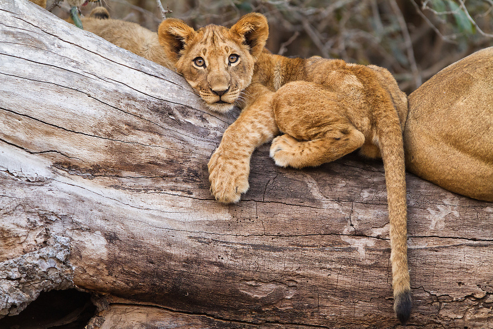 Lion cub on a log.  Mana Pools, Zimbabwe