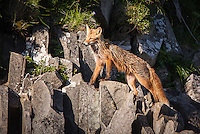 A red fox, Vulpes vulpes, climbing on rocks in Katmai National Park, Alaska.