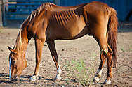 Thin horse in West Texas during a time of drought.