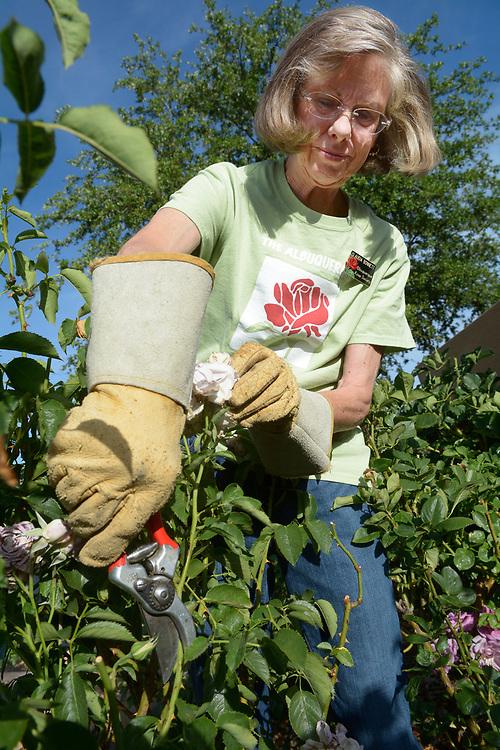 gbs060617j/LIVING -- Claudia Bonnett deadheads a rose at the Albuquerque Rose Garden on Thursday, June 6, 2017. (Greg Sorber/Albuquerque Journal)