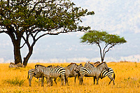 A herd of zebra, Serengeti National Park, Tanzania