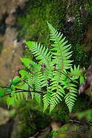 A fern growing in the Waiau Falls Scenic Reserve on the Coromandel Peninsula of the North Island of New Zealand.