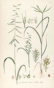 Hand painted botanical study of Chloris ciliata and Dinebra arabica flower anatomy from Fragmenta Botanica by Nikolaus Joseph Freiherr von Jacquin or Baron Nikolaus von Jacquin (printed in Vienna in 1809)