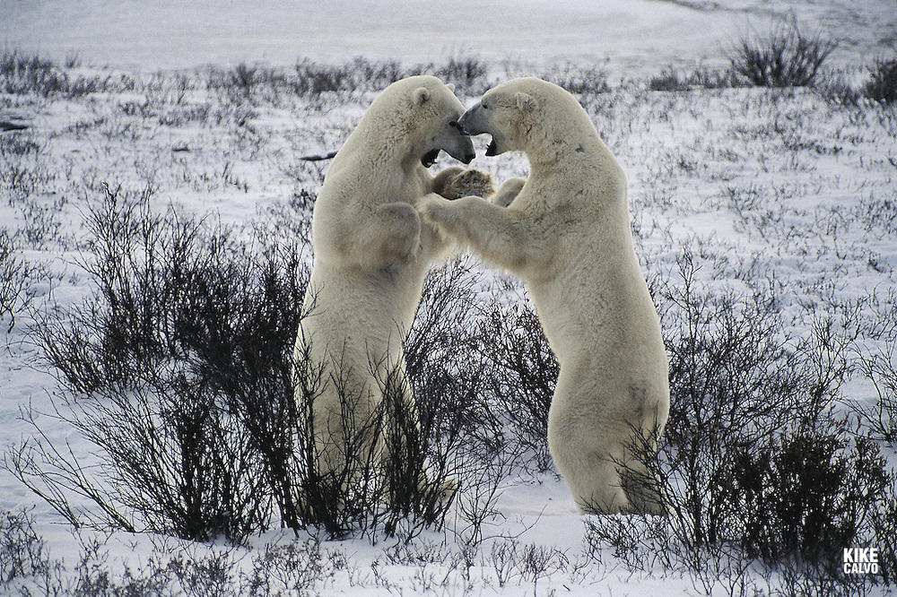 WWF says polar bears (Ursus maritimus) are set to become one of the most notable casualties of global warming unless drastic action is taken. The impact of climate change is increasingly felt in polar regions, where summer sea ice is expected to decrease by 50?00 per cent over the next 50?00 years. Polar bears are predicted to suffer more than a 30 per cent population decline in the next 45 years. Two male bears sparring.