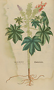 16th century, watercolor, hand painted woodcutting print of a Ricinus communis, the castor bean or castor oil plant, from Leonhart Fuchs book of herbs: De Historia Stirpium Commentarii Insignes Published in Basel in 1542 The original manuscript this image is taken from shows signs of water damage