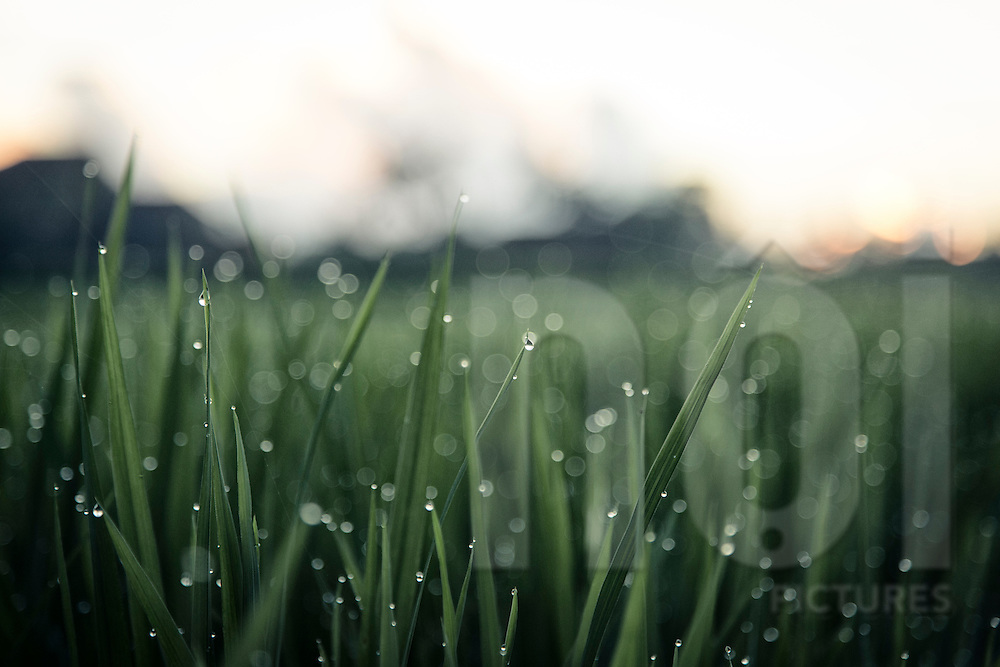 Dew drops form at dawn in a rice field, Ubud area, Bali, Indonesia, Southeast Asia