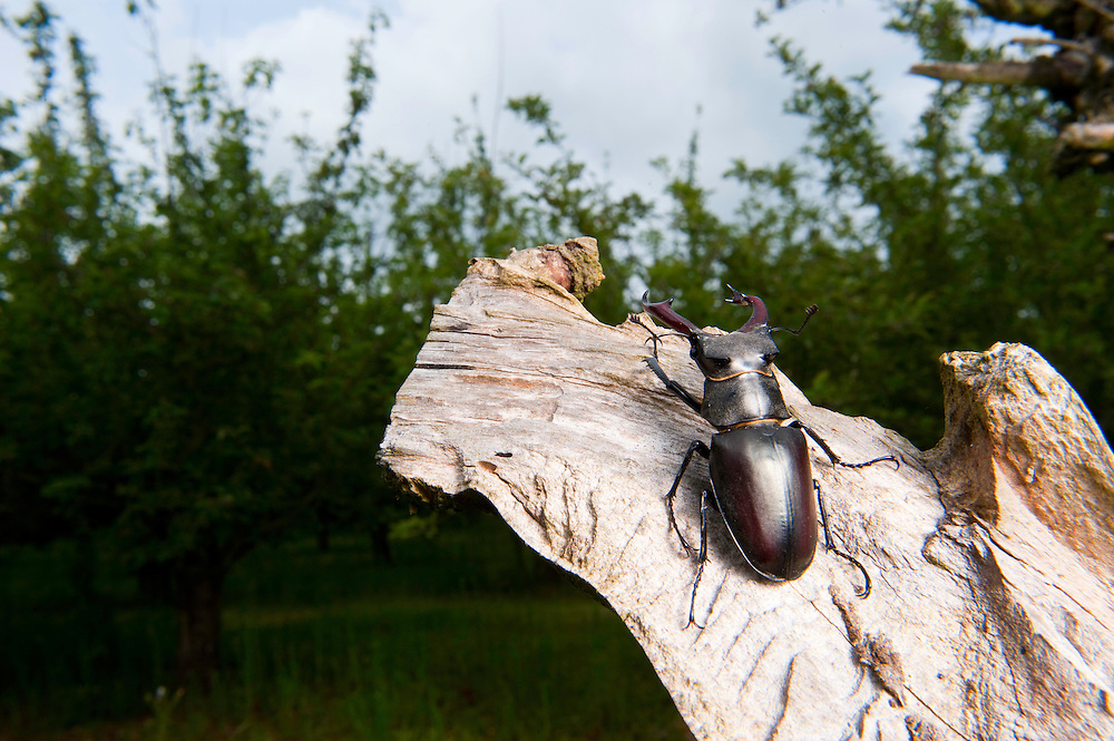 Male stag beetle in old orchard, Lucanus cervus, Suffolk, England, Europe.