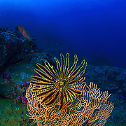 Feather, Lamprometra sp, feeding off a gorgonian in the Similan Islands, Thailand