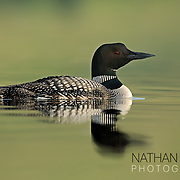 Common Loon swimming on green water;  Minnesota.