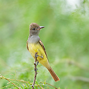 Flycatchers and Thrushes