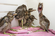 Black-crowned Night Heron<br /> Nycticorax nycticorax<br /> 1-2 week old chicks in incubator <br /> International Bird Rescue, Fairfield, CA