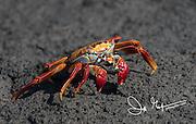 A Sally-lightfoot crab walks across the hardened lava on Fernandina island in the Galapagos, Ecuador.