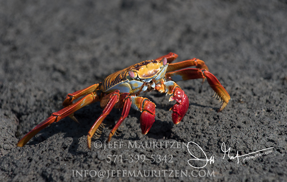A Sally-lightfoot crab walks across the hardened lava on Fernandina island in the Galapagos, Ecuador.