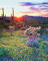 Perfect photo of the Sonoran desert showing wildflowers and cacti at sunset in Organ Pipe Cactus National Park Arizona.  This photograph shows the vast ecosystem with vibrant glowing colors.