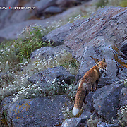 Photographed at Tunganath, Uttarakhand at 13500 ft During SGP's OverTheTop Expedition . Reaching the top before sunrise helped a lott in the end. <br />