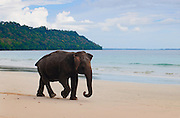 Elephant on the Beach - Andaman Islands 2014