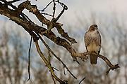 A red-tailed hawk (Buteo jamaicensus) in the Ridgefield National Wildlife Refuge, Washington.