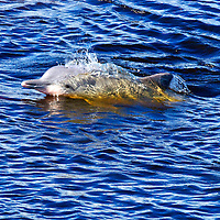 Tucuxi dolphins are freshwater dolphins found in the rivers of the Amazon Basin.