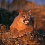 Mountain Lion resting on rock
