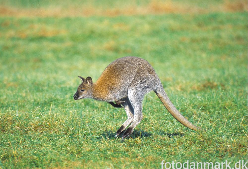 Kangaroo (wallabie) in Knuthenborg