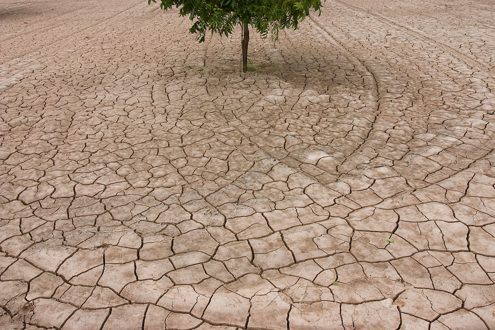 Young Pecan trees are surrounded by cracked soil after flood irrigation water dries up under the New Mexico sun. New Mexico is second only to Georgia in exporting of Pecans.