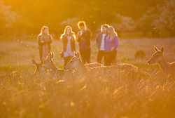 © Licensed to London News Pictures. 26/04/2016. London, UK.  a group of young women watch deer grazing in warm sunset light in Bushy Park, west London on May 16, 2016.   Photo credit: Colin Hart/LNP