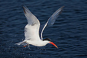 Caspian Terns dive to fish.  This tern is just exiting the water after a dive.
