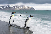 Two King Penguins (Aptenodytes patagonicus) entering the surf, Salisbury Plain, South Georgia Island, South Atlantic Ocean
