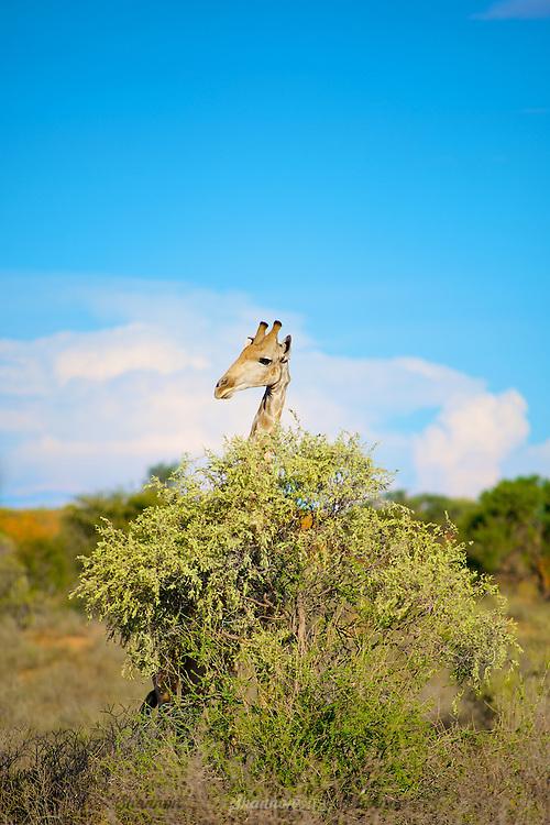 A Giraffe (Giraffa camelopardalis) is almost hidden behind a bush in the Kgalagadi, South Africa.