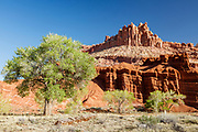 The Castle in Capital Reef National Park. Cottonwoods and red rock