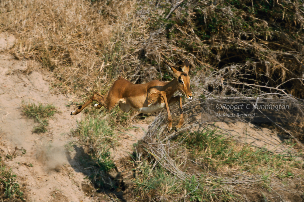 A young female impala leaping off a river bank, showing all the grace of the species