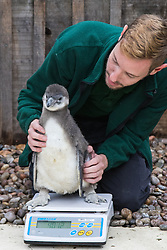 ZSL London, August 26th 2015. Zookeeper Karl Ashworth weighs a Humbolt Penguin chick as ZSL London holds its annual weigh-in of  animals.