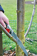 Tony Kirkham usaing a Silky pruning saw for corrective pruning on an Aesculus indica (Indian horse-chestnut ) tree