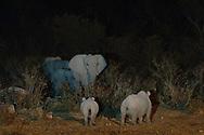 Impressionen aus dem Etosha Nationalpark im Norden von Namibia mit Spitzmaulnashörnern (Diceros bicornis), auch schwarzes Nashorn bei Nacht.