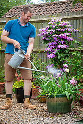 Feeding spring flowering bulbs - tulips - with liquid fertiliser after they've finished flowering