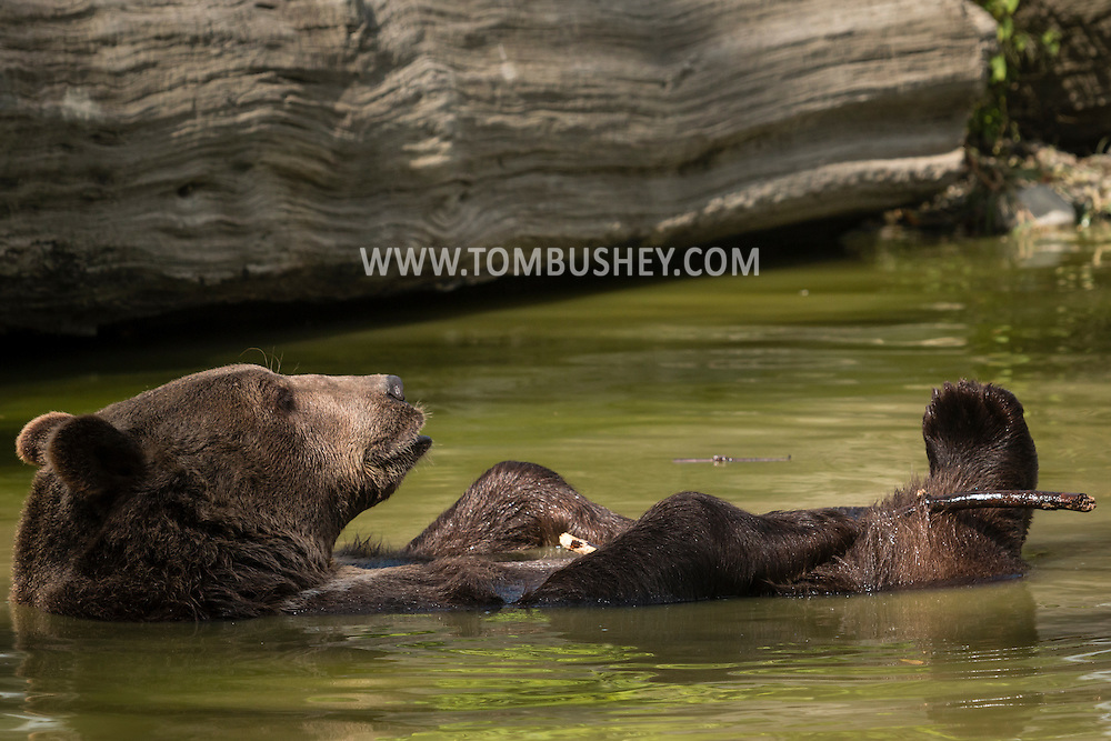 Otisville, New York - A bears plays in the water at the Orphaned Wildlife Center on Sept. 7, 2016.