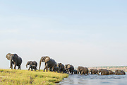 A herd of African Elephants emerge on to an island after swimming across the Chobe River, Chobe River, Kasane, Botswana.