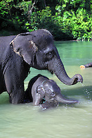 Sumatran elephants bathing in the river at Tangkahan on the edge of Gunung Leuser National Park.