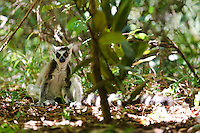 A ring-tailed lemur on the ground, Nahampoana Reserve, Fort Dauphin, Madagascar.