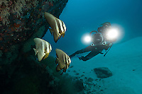 Diver filming a school of batfish sheltering beneath a wreck, Manokwari, West Papua, Indonesia.
