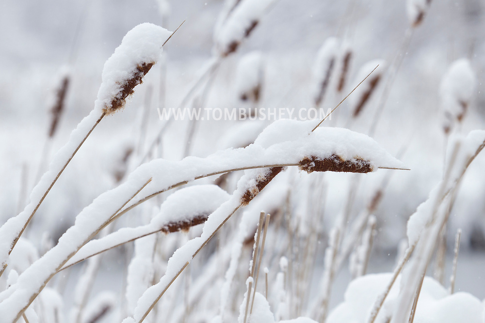 Middletown, New York - Snow bends cattails during a storm on March 8, 2013.