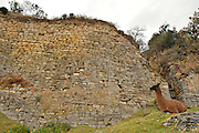 A Llama in front of the gigantic fort of Kue?lap is located in the district of Tingo, province of Luya, department of Amazon, to a height of 3.000 meters on the level of the sea; in the top of a high mountain of the northen Andes in Peru.  The structure is almost 600 m in length and its walls rise up to 19 m in height.