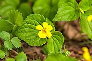 Violaceae (Violets)
