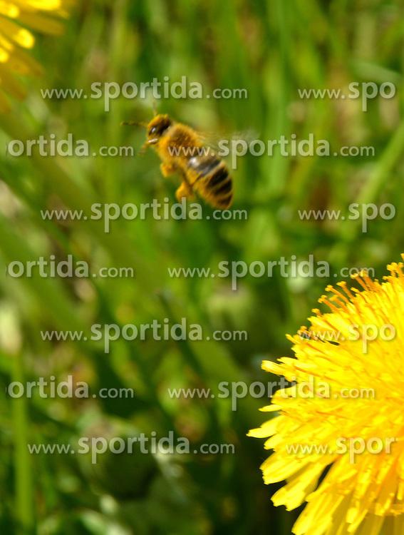 THEMENBILD - Als Bienentrachtpflanze oder Bienenweide bezeichnet man Pflanzen, die besonders reichhaltig Nektar und Pollen erzeugen und deswegen h&auml;ufig von Honigbienen angeflogen werden. Aufgenommen am 17. April 2015 in Bjelovar, Kroatien. // Honeybees usually collect nectar, pollen, or both from the following species of plants, which are called honey plants, for making honey. Photo taken on 2015 April 17th in Bjelovar, Croatia. EXPA Pictures &copy; 2015, PhotoCredit: EXPA/ Pixsell/ Damir Spehar<br /> <br /> *****ATTENTION - for AUT, SLO, SUI, SWE, ITA, FRA only*****